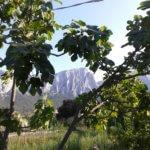 Feigenbaum Sardinien