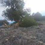 Sardische Ziegen